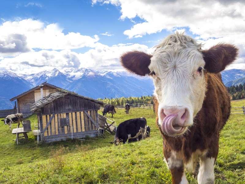 фермерские продукты теленок